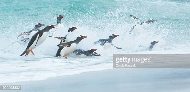 Gentoo Penguins Returning to Shore with a Big Splash