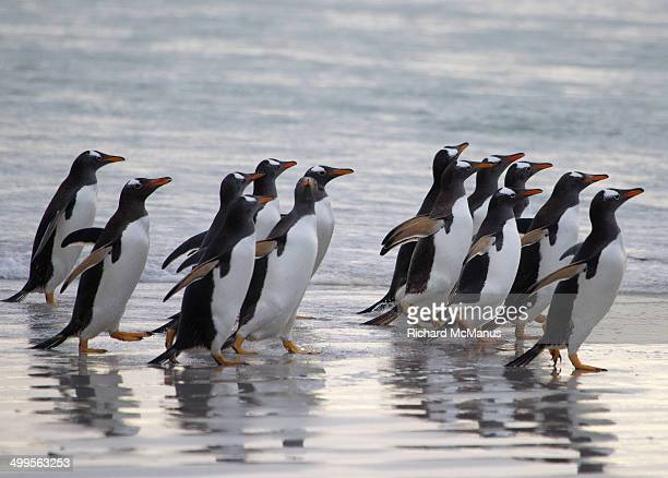 Gentoo penguins running on beach.