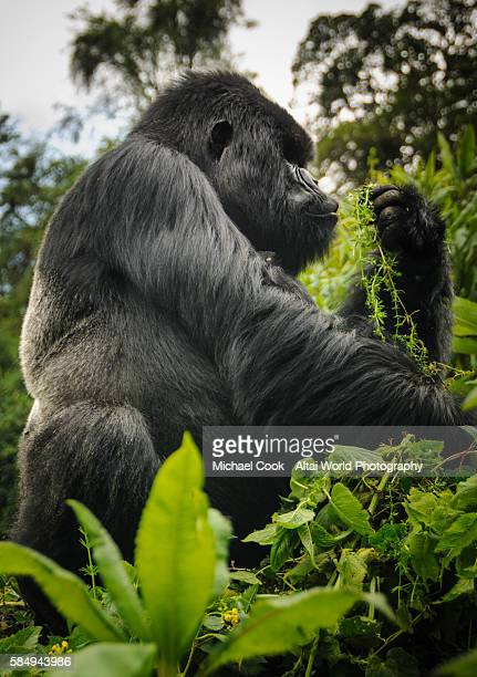 George, Silverback Mountain Gorilla