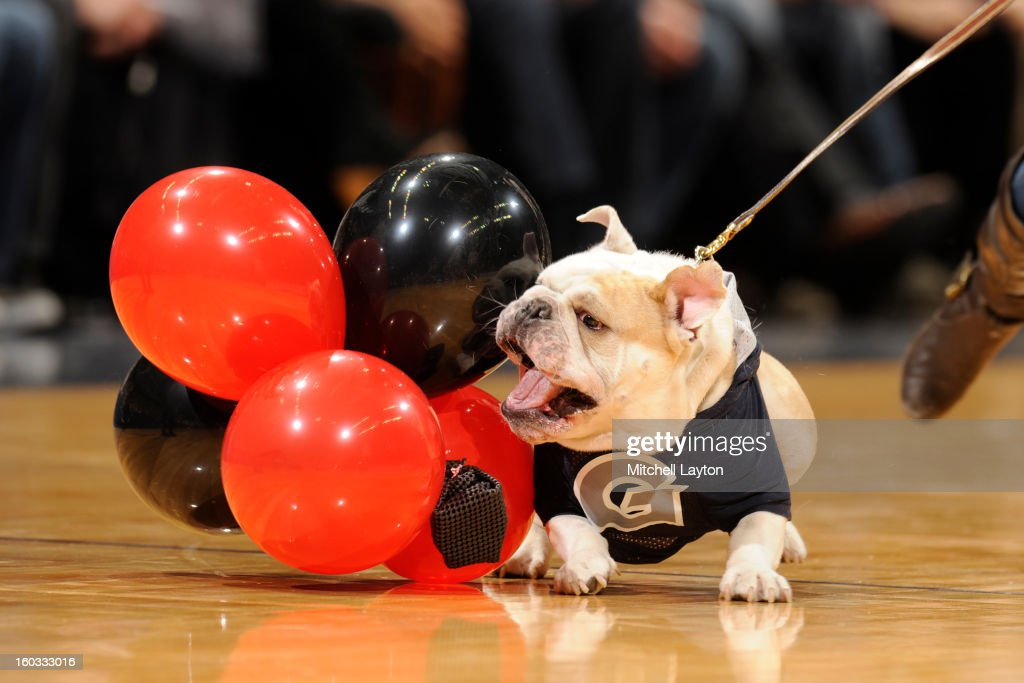 Georgetown Hoyas mascot Jack the Bulldog goes after Louisville Cardinals balloons during a college basketball game on January 26, 2013 at Verizon Center in Washington, DC. The Hoyas won 53-51.