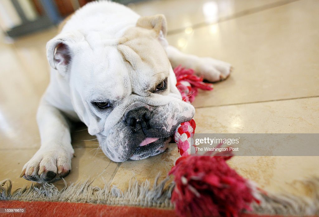 Georgetown University is introducing their new mascot, English bulldog Jack Jr., at Midnight Madness Friday night. Here, Jack Jr. rests in Wolfington Hall, where he spends his days before returning home with Rev. Christopher Steck, on October 10, 2012.