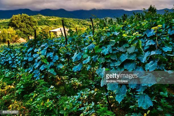 Georgian Wine Region, Georgia