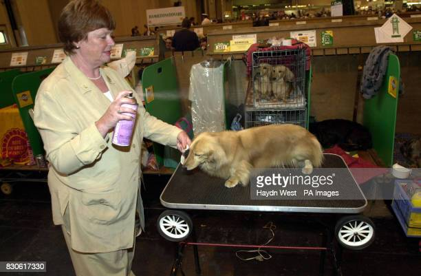 Geraldine Brace applies coat conditioner to her long haired miniature Dachshund at the rescheduled Crufts dog show that started more than two months...