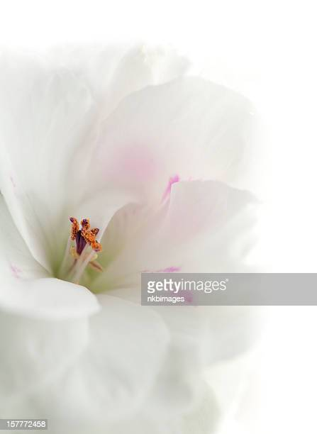 Geranium flower blossom on white background