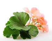 Geranium On White Background