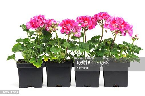 Geranium Seedling Plants in Retail Plastic Container Pot on White