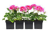"""""""Subject: Horizontal view of a row of plastic garden planter containers, planted with pink starter geranium plants"""""""
