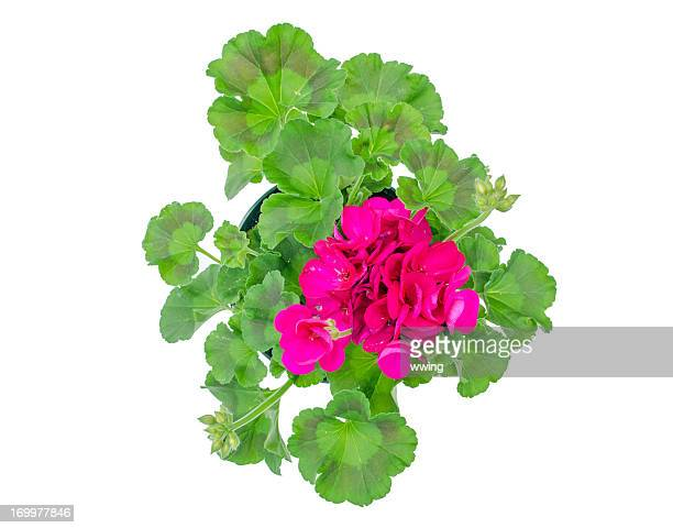 Geranium with Clipping path