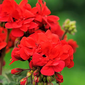 geraniums or storksbills