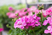 Pink Geraniums at a nursery.
