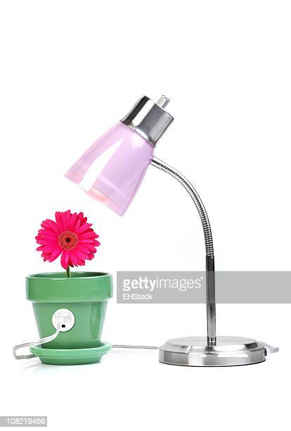 Gerber Daisy and Lamp Clean Energy Concept on White