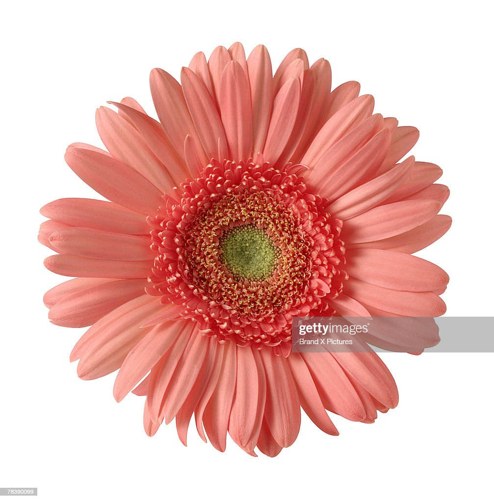 Gerber daisy : Stock Photo