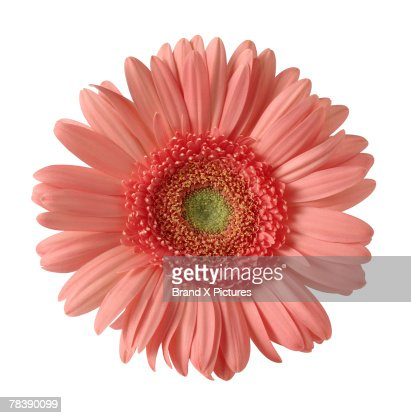 Gerber daisy : Stock Photo
