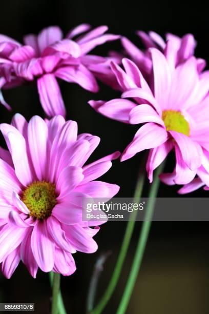 Gerber daisy's on a black background (Gerbera)
