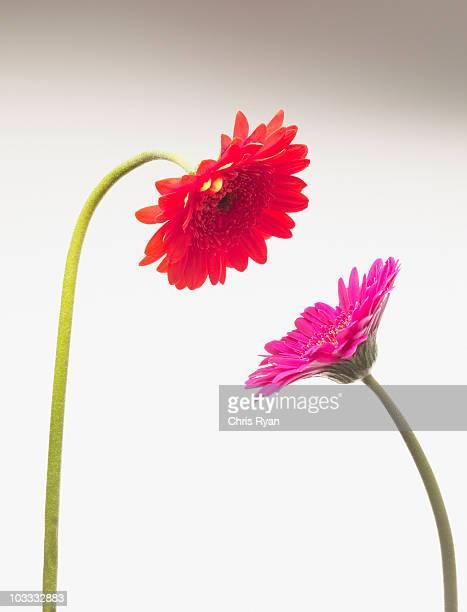 Gerbera daisies face to face