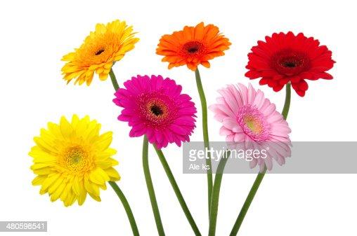 gerbera daisies : Stock Photo