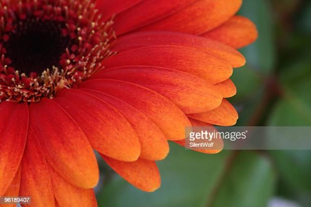 Gerbera daisy detail