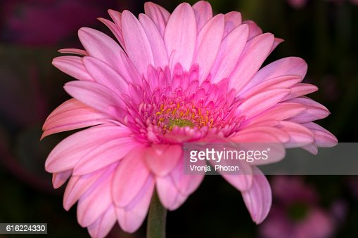 Gerbera daisy : Bildbanksbilder