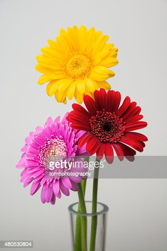 Gerbera flower : Stockfoto