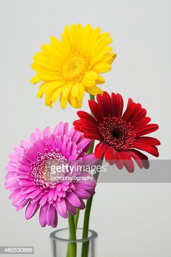 Gerbera flower : Stock Photo