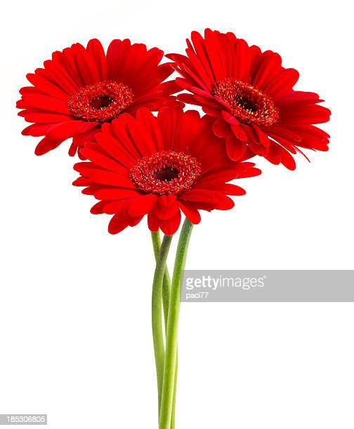 Gerberas (con Clipping Path