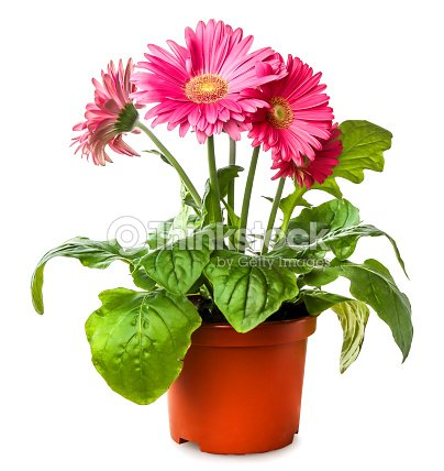 Gerber's flowers in  flowerpot isolated on a white background : Stock Photo