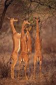 Gerenuk Feeding on Acacia Trees