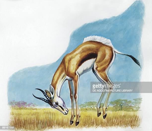 Gerenuk jumping illustration