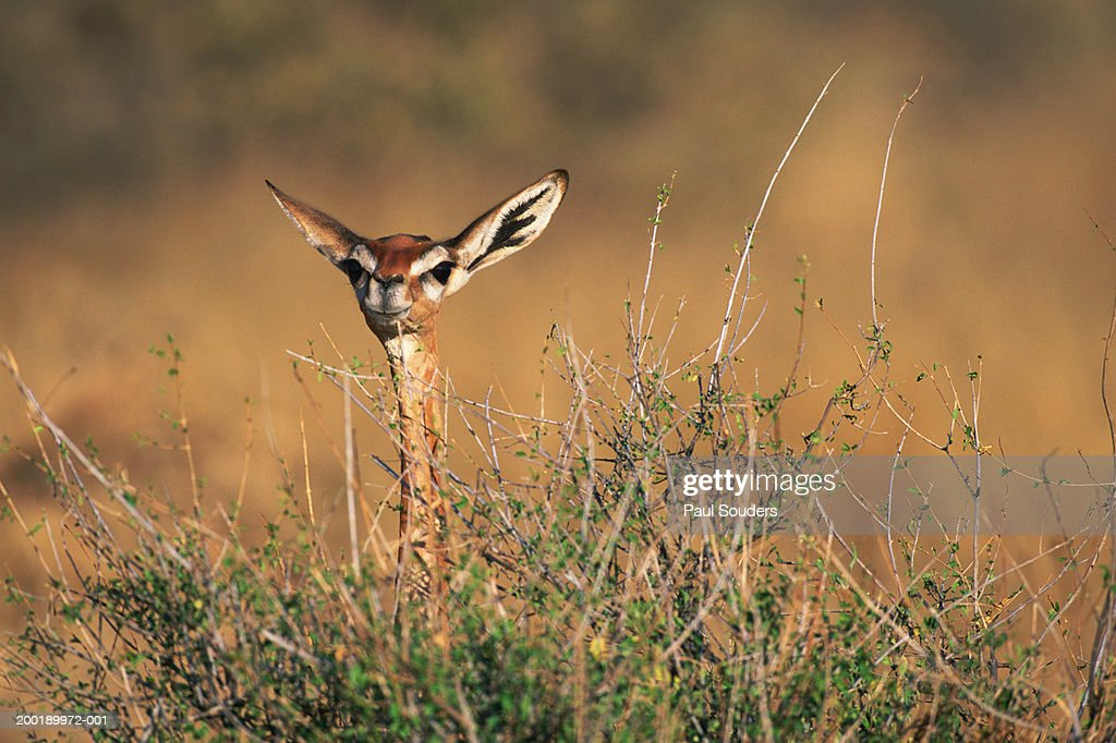 Gerenuk (Litocranius walleri) standing in tall grass : Stock Photo