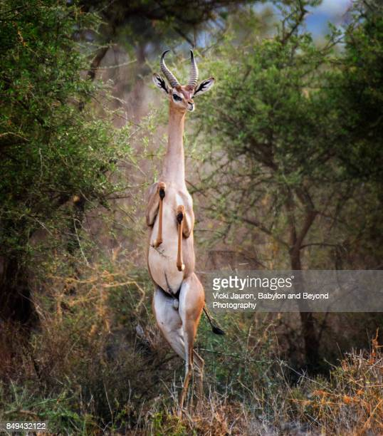 Gerenuk Standing Tall in Funny Pose at Amboseli, Kenya