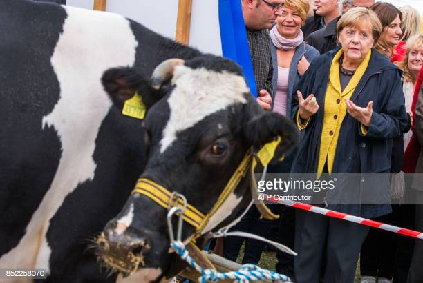 German Chancellor Angela Merkel stands next to cows and speaks with a farmer at a harvest festival as she tours the city of Lauterbach on the Baltic...