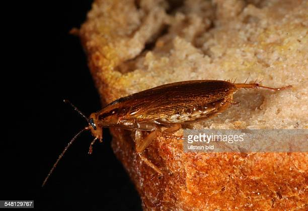 German cockroach or Croton bug on a bread