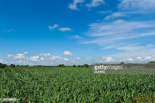 German Corn Fields and Sky