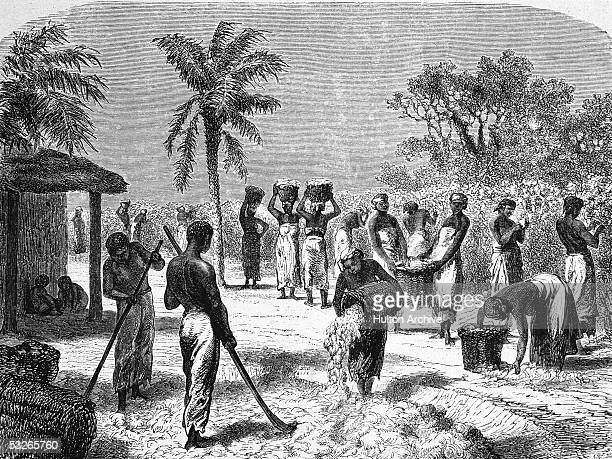 German engraving shows slaves as they harvest and process cotton on a plantation Southern United States mid 19th Century