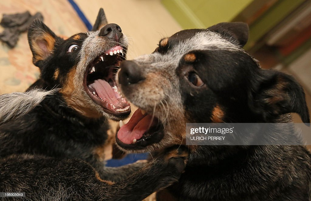 German hobby sheperd Wolfgang Grensens' Australian Cattle Dogs Seven (R) and Harlekin play at his appartment in Luebeck, northern Germany, on November 12, 2012. AFP PHOTO/Ulrich Perrey /GERMANY OUT