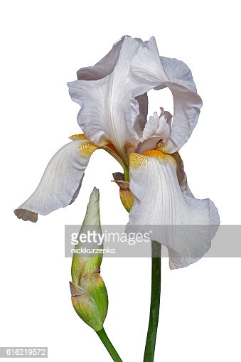 German iris flower : Stock Photo