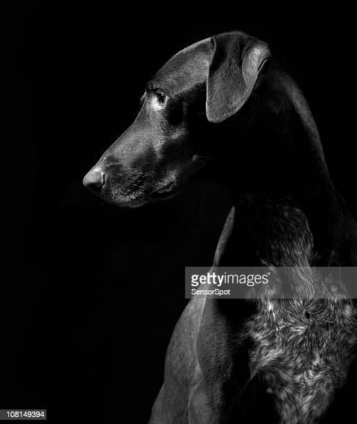 Deutsche Pointer Hund, schwarz und weiß