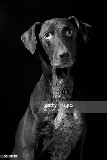 German Pointer Dog, Black and White