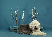 German Sheep Dog in front of blue background