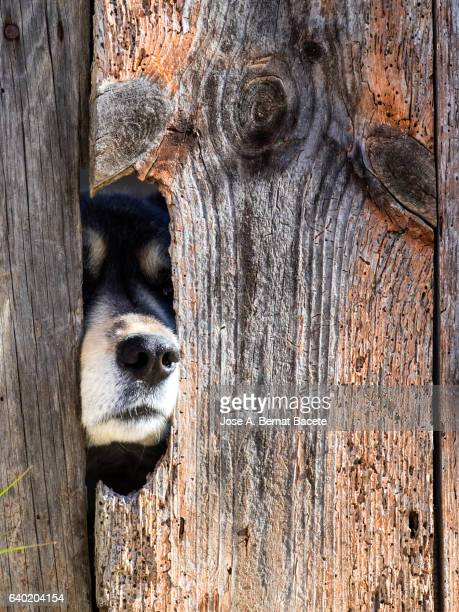 German sheepdog extracting the snout and an eye for the hole of a door of ancient wood