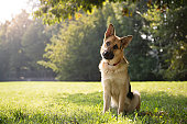 young german shepherd sitting on grass in park and looking with attention at camera, tilting head