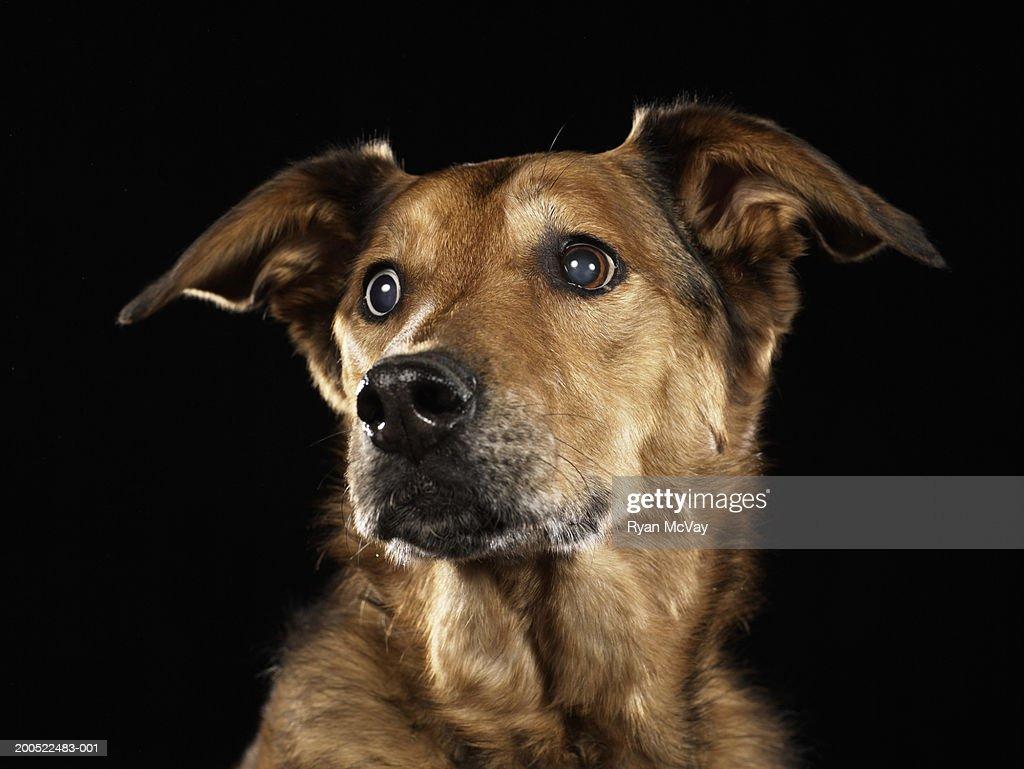 German shepherd and Rhodesian ridgeback mixed breed dog looking away : Stock Photo