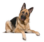 German Shepherd dog, 4 years old, in front of white background.
