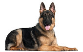 German Shepherd Dog, 8 months old, lying in front of white background
