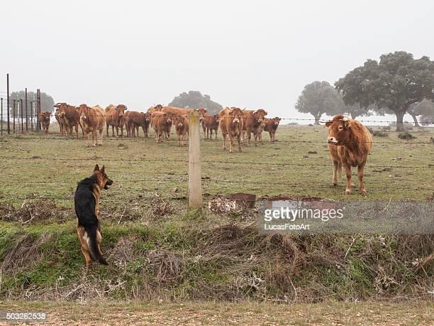 German Shepherd dog caring cattle