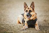 Brown German Shepherd Dog Sitting On Ground