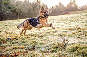 German shepherd dog in action