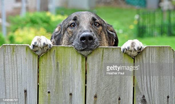 German Shepherd dog looking over a backyard fence