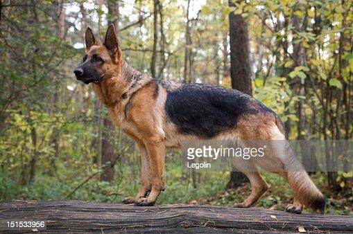 A German shepherd dog on a forest walk : Stock Photo