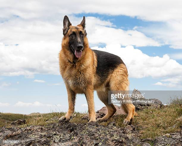German Shepherd Dog on Mountain